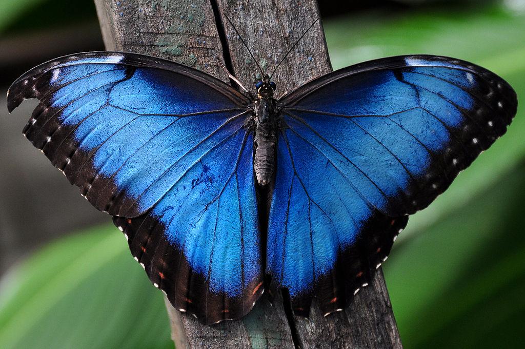 Farfalla Morpho